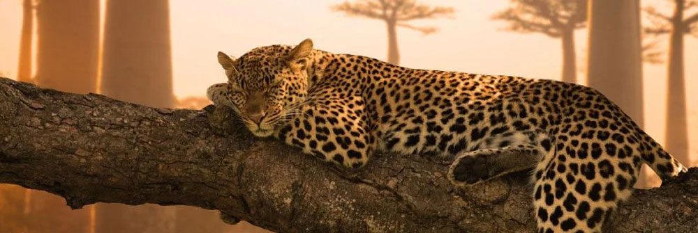 Fotobehang met luipaarden