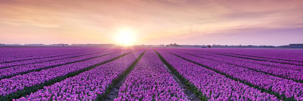 Fotobehang met Tulpen