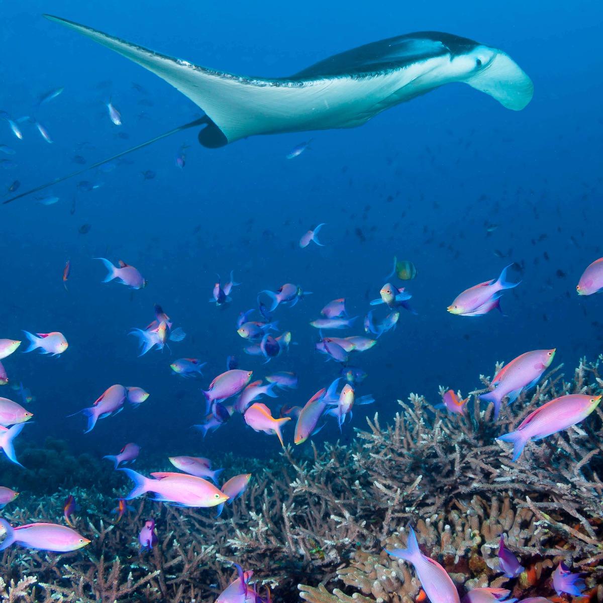 Dieren Pijlstaartrog tussen koraal 16