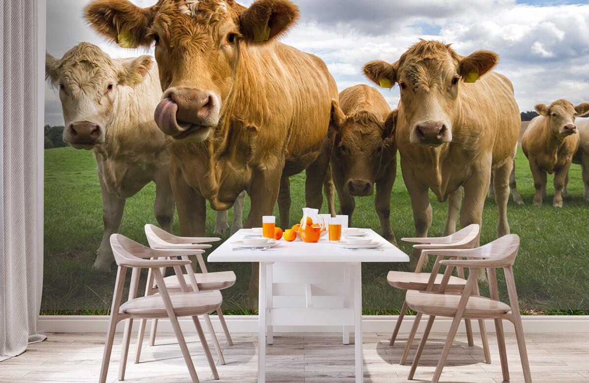 Dieren Bruine koeien 1