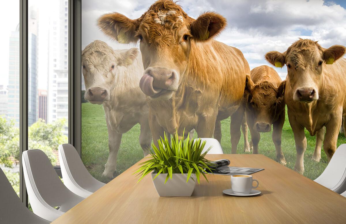 Dieren Bruine koeien 2
