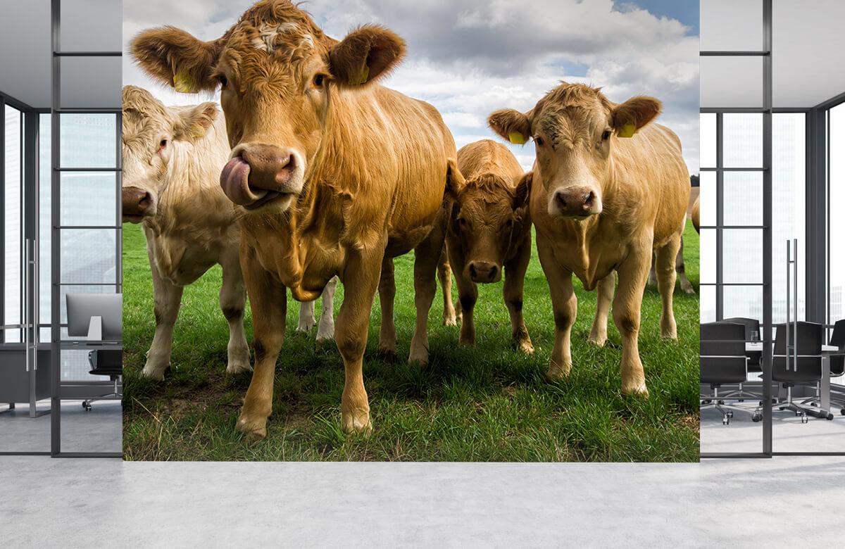 Dieren Bruine koeien 3