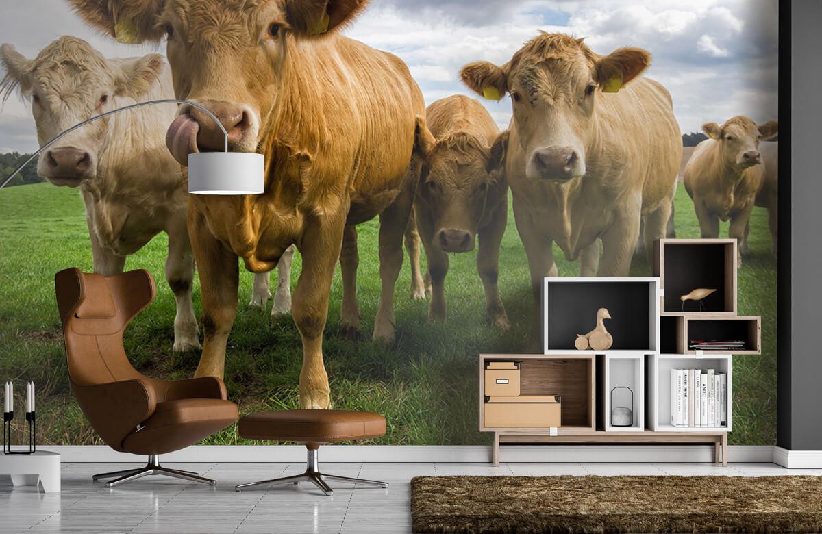 Dieren Bruine koeien 4