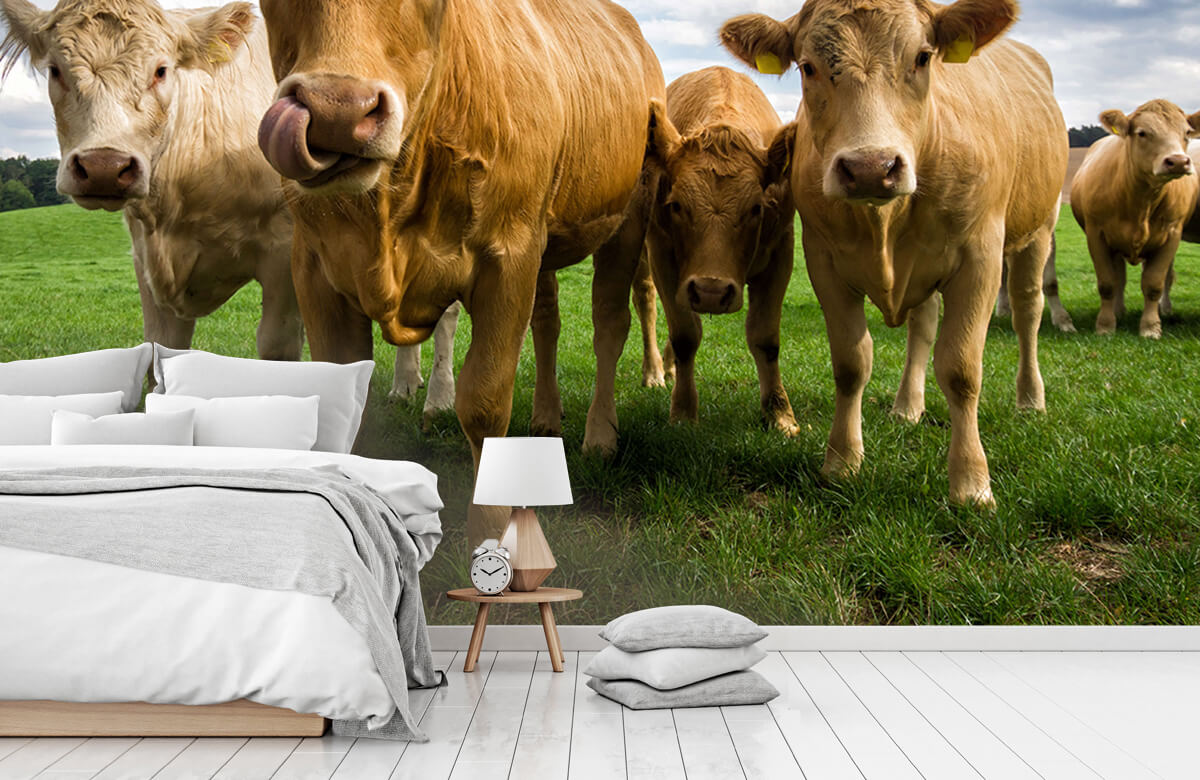 Dieren Bruine koeien 7