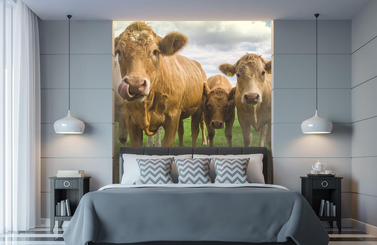 Dieren Bruine koeien 8