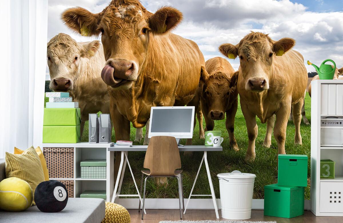 Dieren Bruine koeien 9