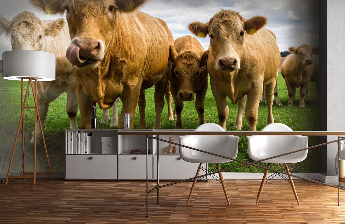 Dieren Bruine koeien 11