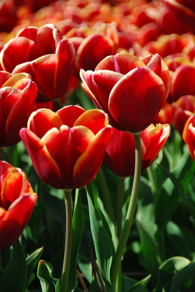Bloemen, planten en bomen Close-up rode tulpen