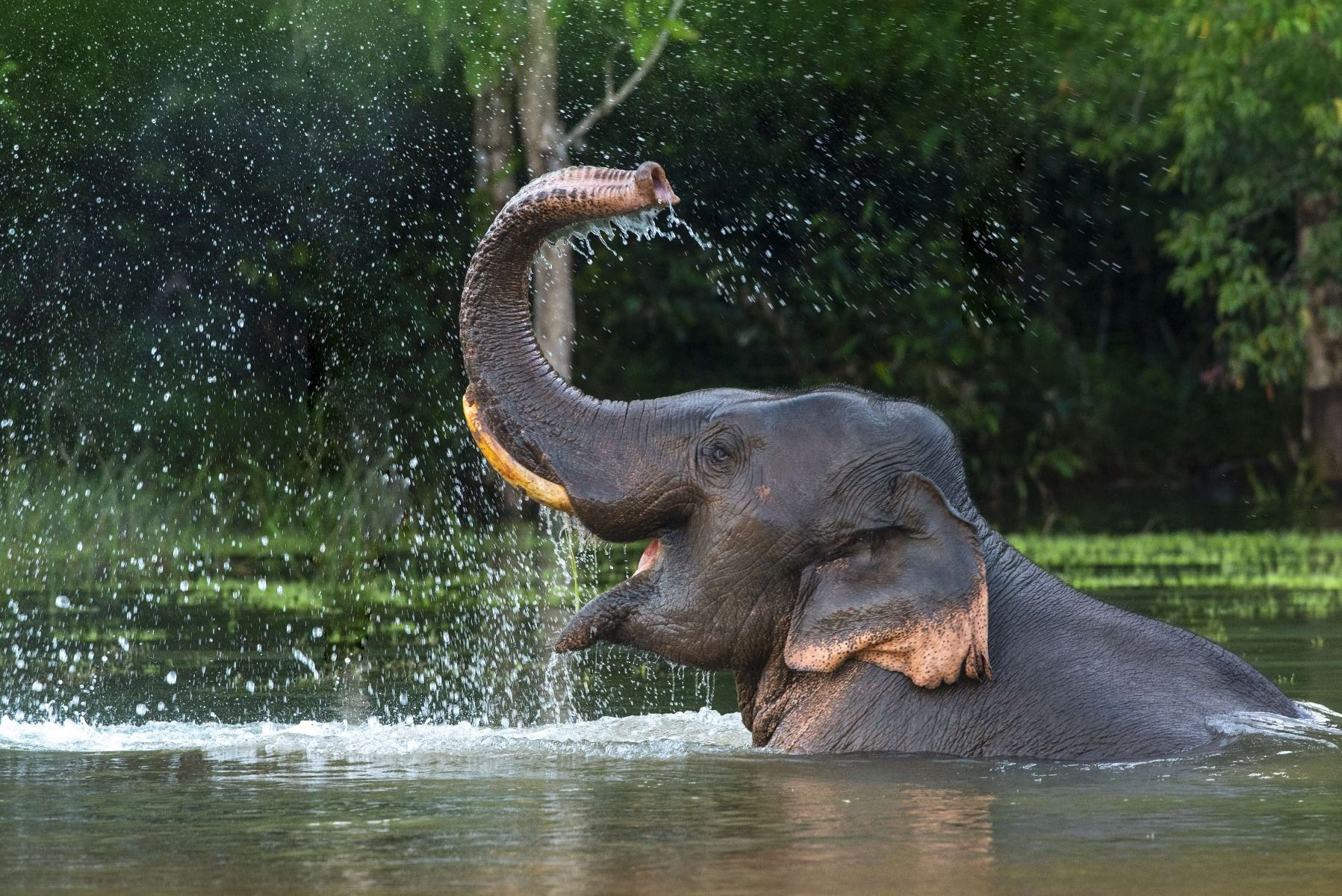 Jungle Olifant in water