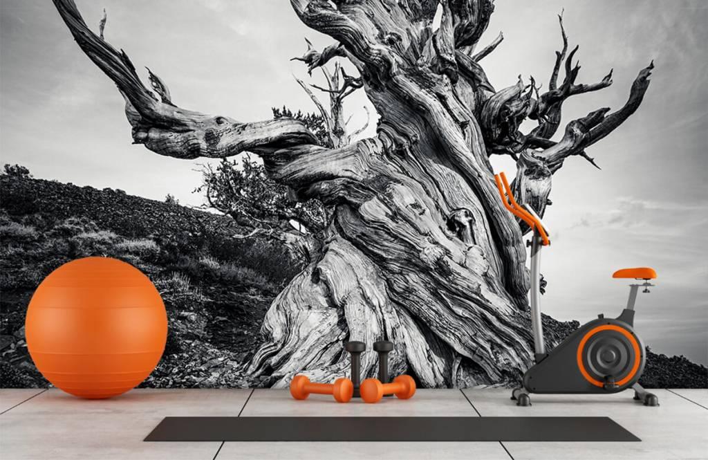 Bomen - Methusalem boom - Kantoor 3