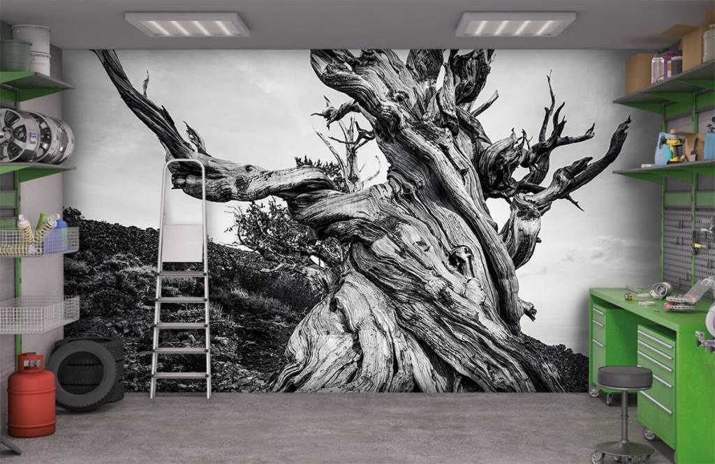 Bomen - Methusalem boom - Kantoor 4