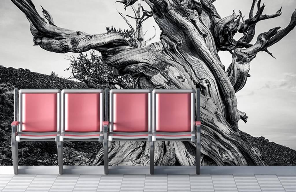 Bomen - Methusalem boom - Kantoor 5