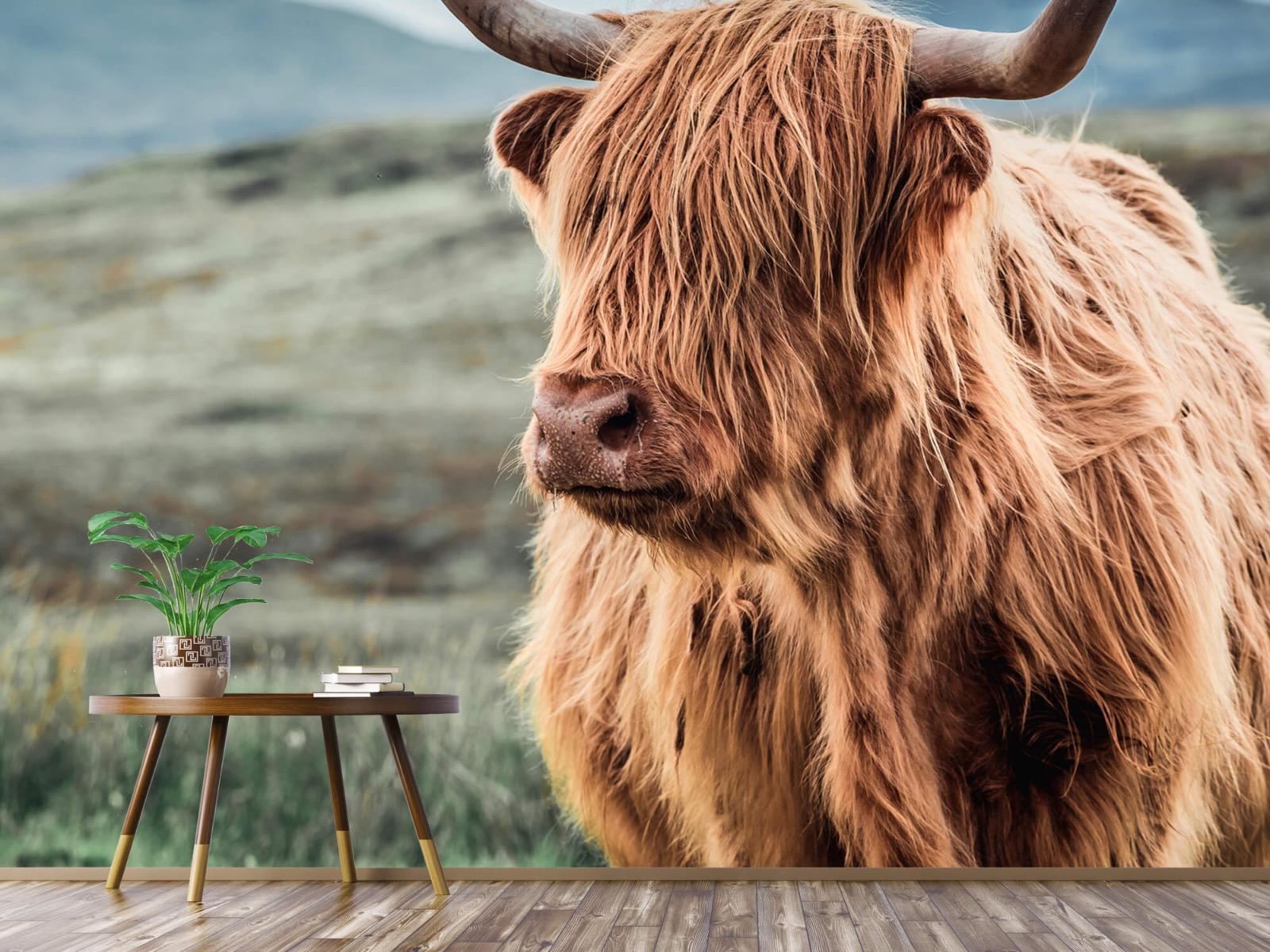 Hooglanders - Schotse hooglander in de heuvels - Woonkamer 3