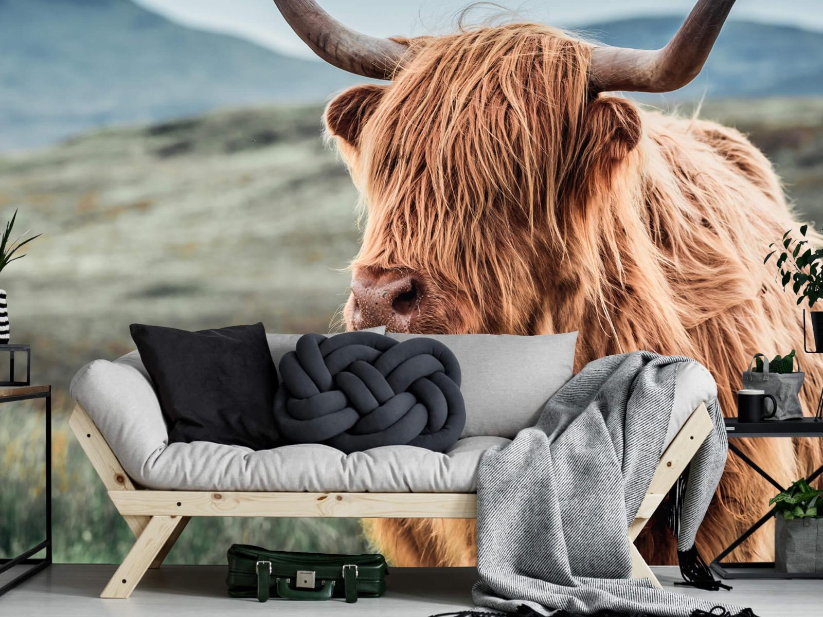 Hooglanders - Schotse hooglander in de heuvels - Woonkamer 6