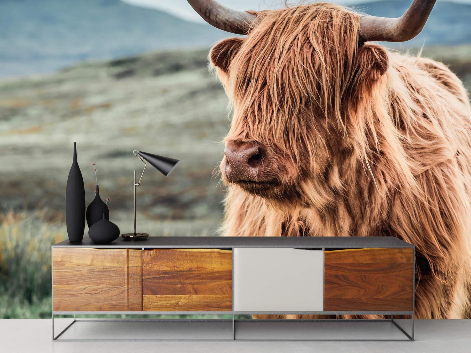Hooglanders - Schotse hooglander in de heuvels - Woonkamer 16