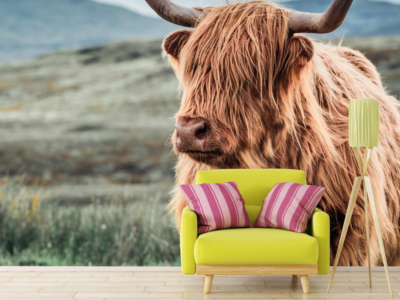 Hooglanders - Schotse hooglander in de heuvels - Woonkamer 17