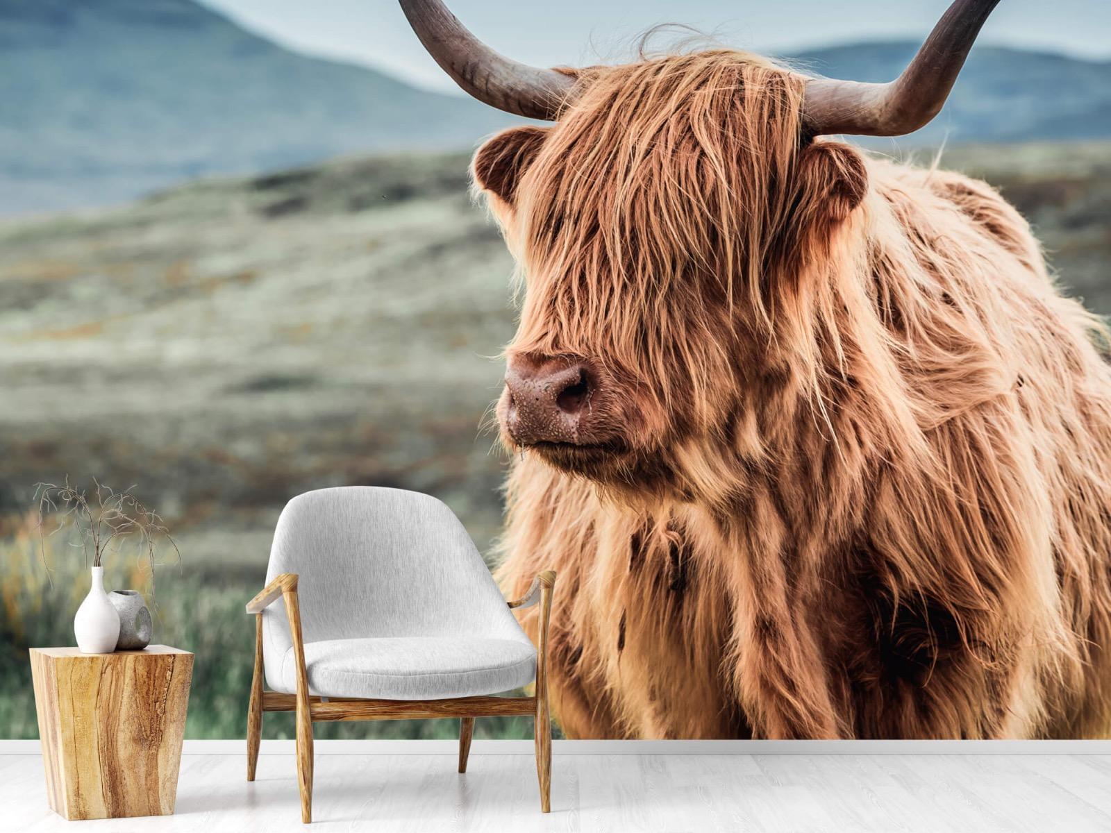 Hooglanders - Schotse hooglander in de heuvels - Woonkamer 18