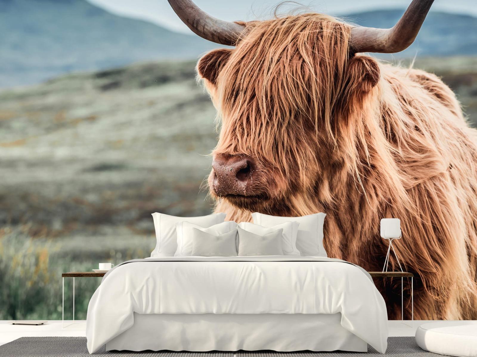 Hooglanders - Schotse hooglander in de heuvels - Woonkamer 23