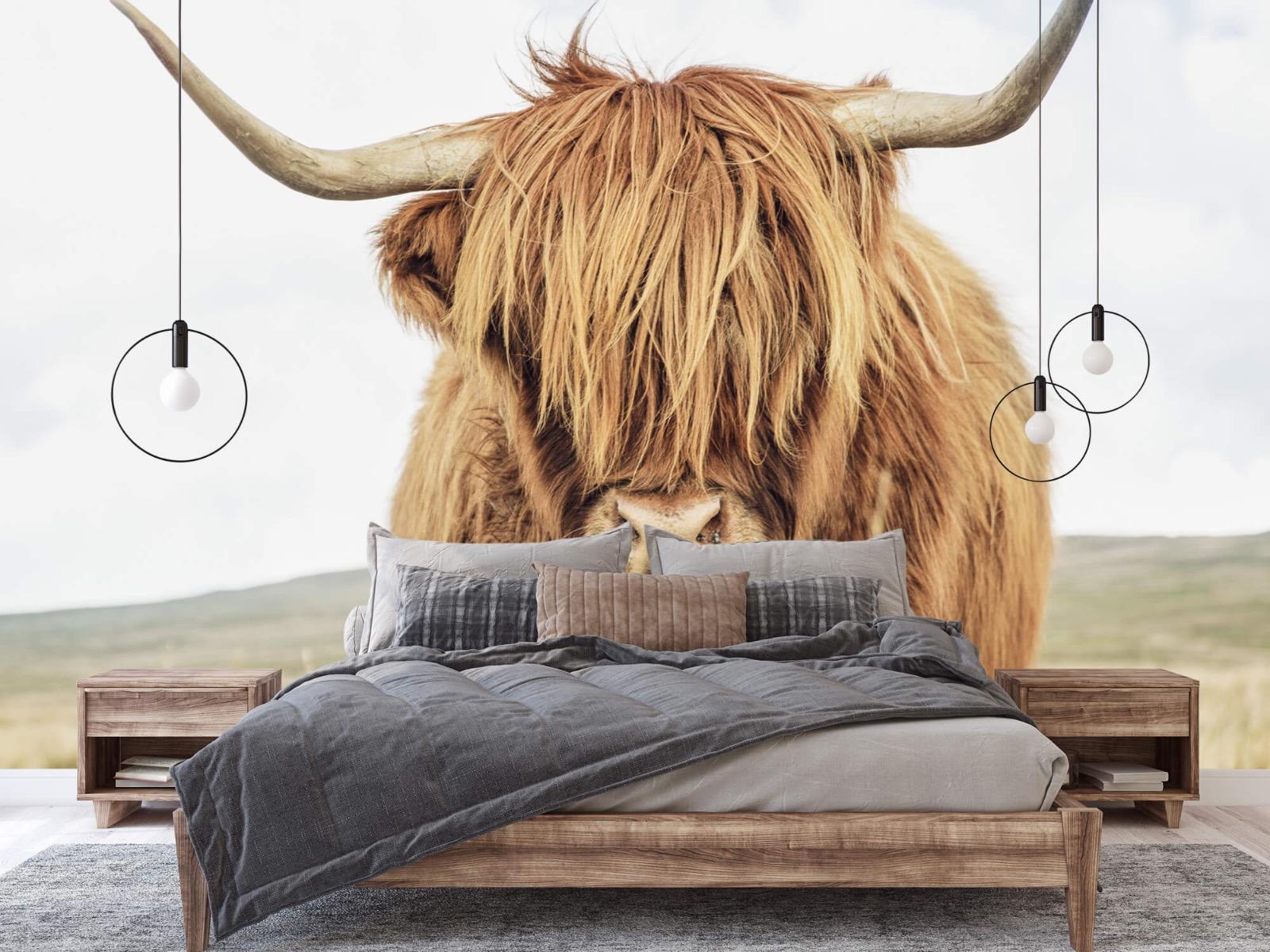 Hooglanders - Close-up van een Schotse hooglander - Keuken 2