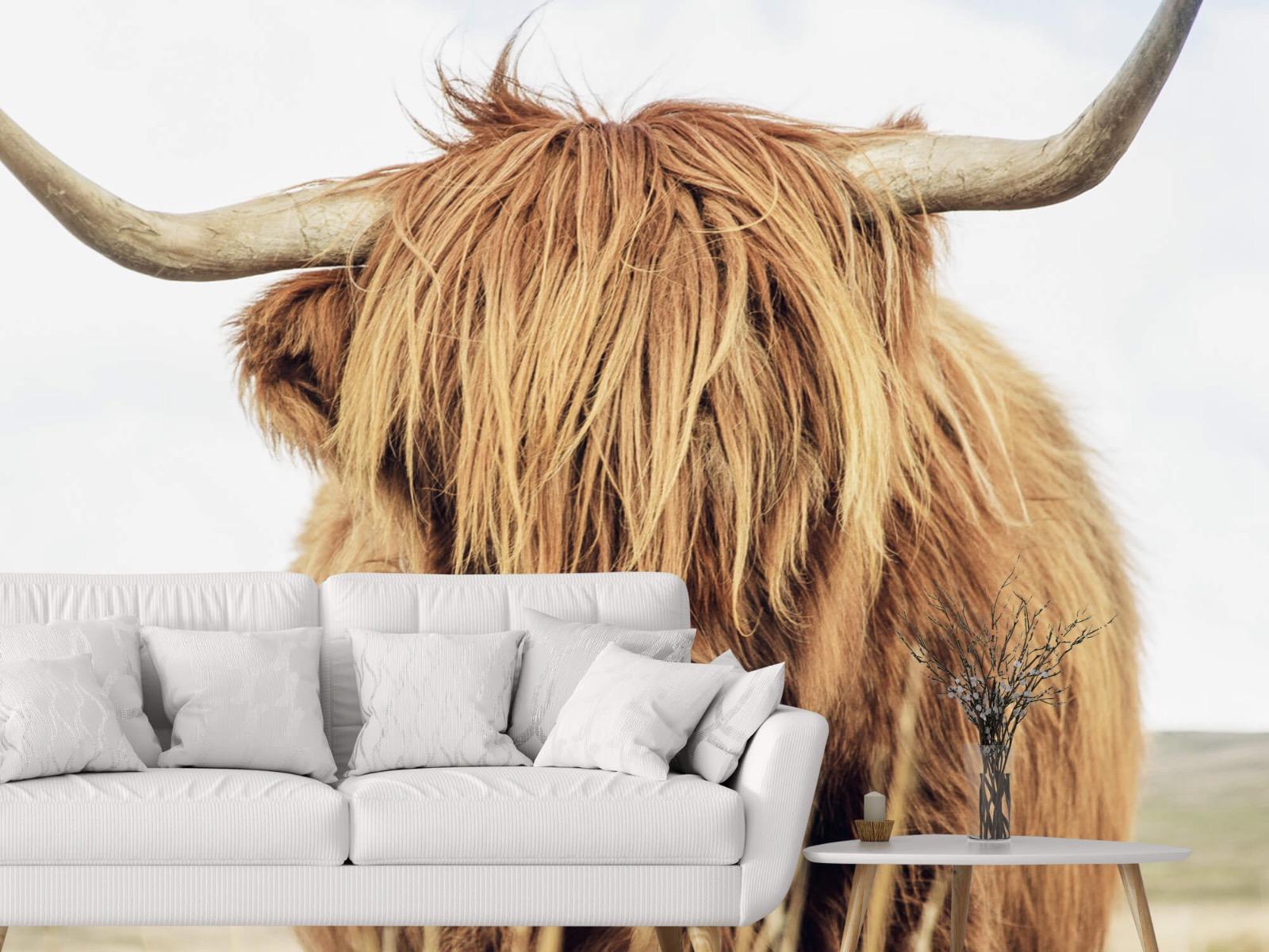 Hooglanders - Close-up van een Schotse hooglander - Keuken 1