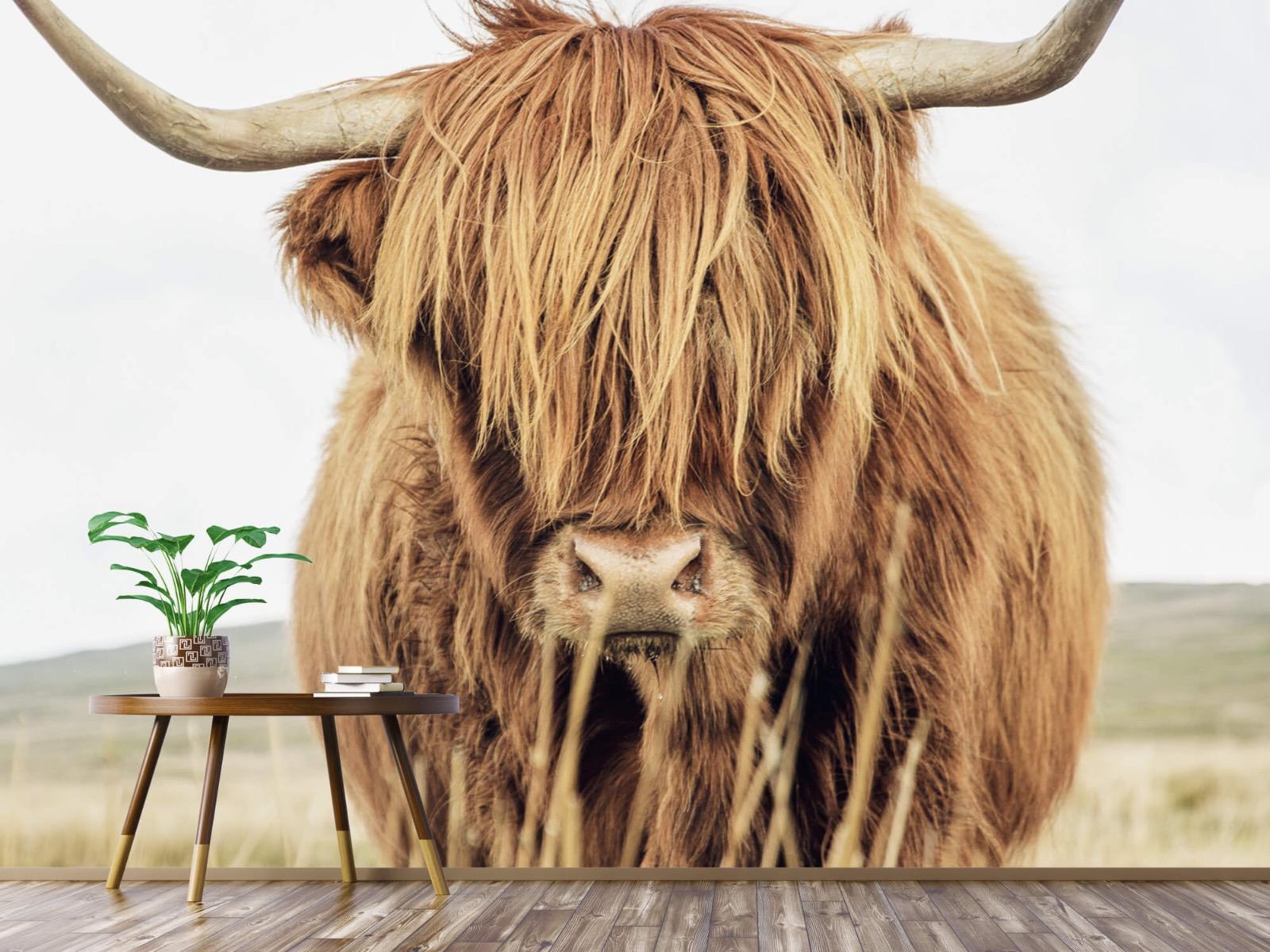 Hooglanders - Close-up van een Schotse hooglander - Keuken 3