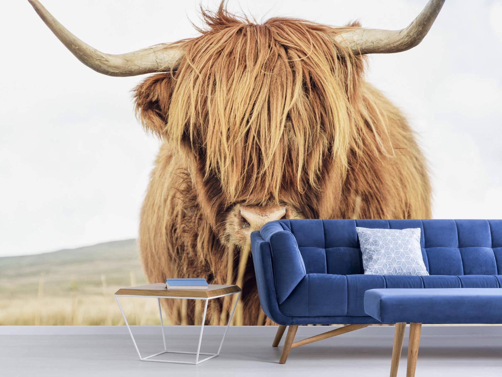 Hooglanders - Close-up van een Schotse hooglander - Keuken 4
