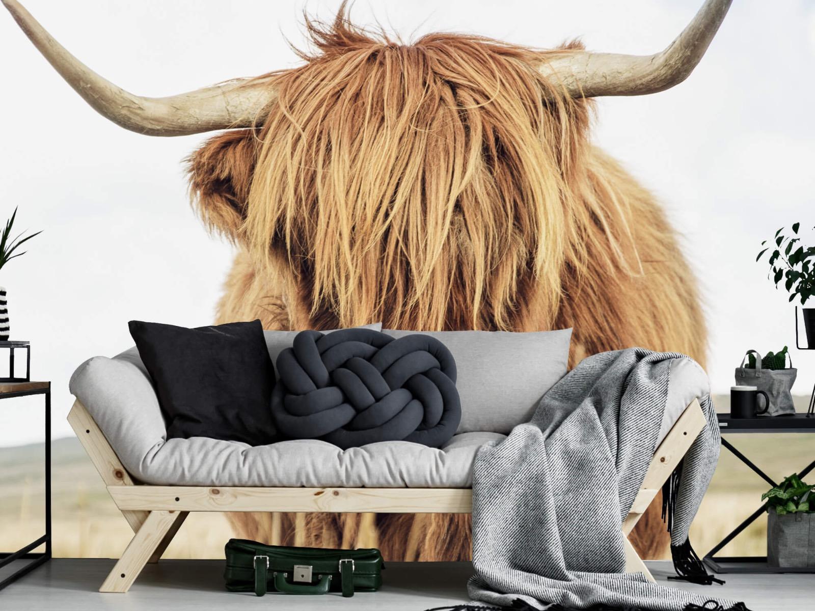 Hooglanders - Close-up van een Schotse hooglander - Keuken 6