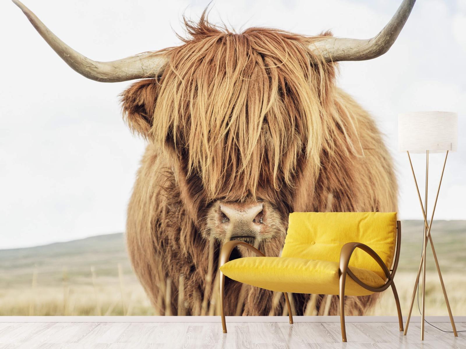 Hooglanders - Close-up van een Schotse hooglander - Keuken 10