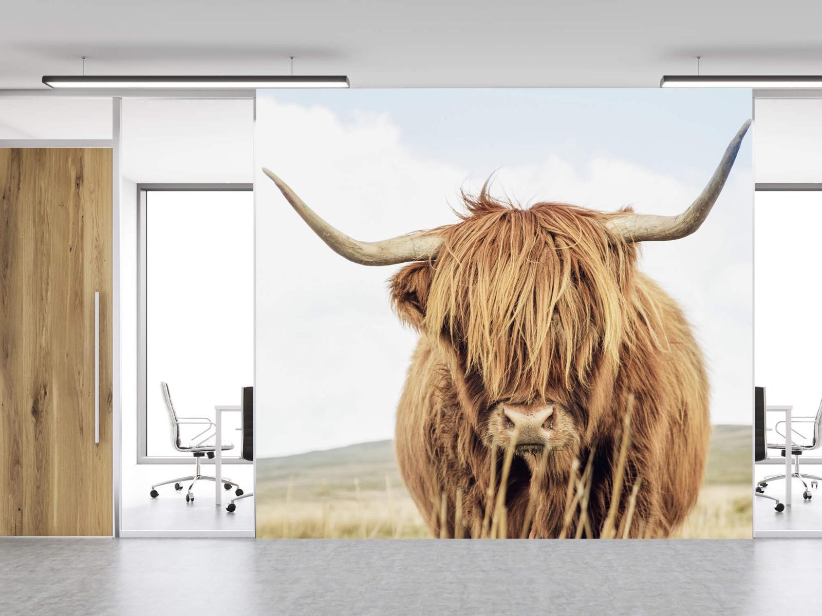 Hooglanders - Close-up van een Schotse hooglander - Keuken 11