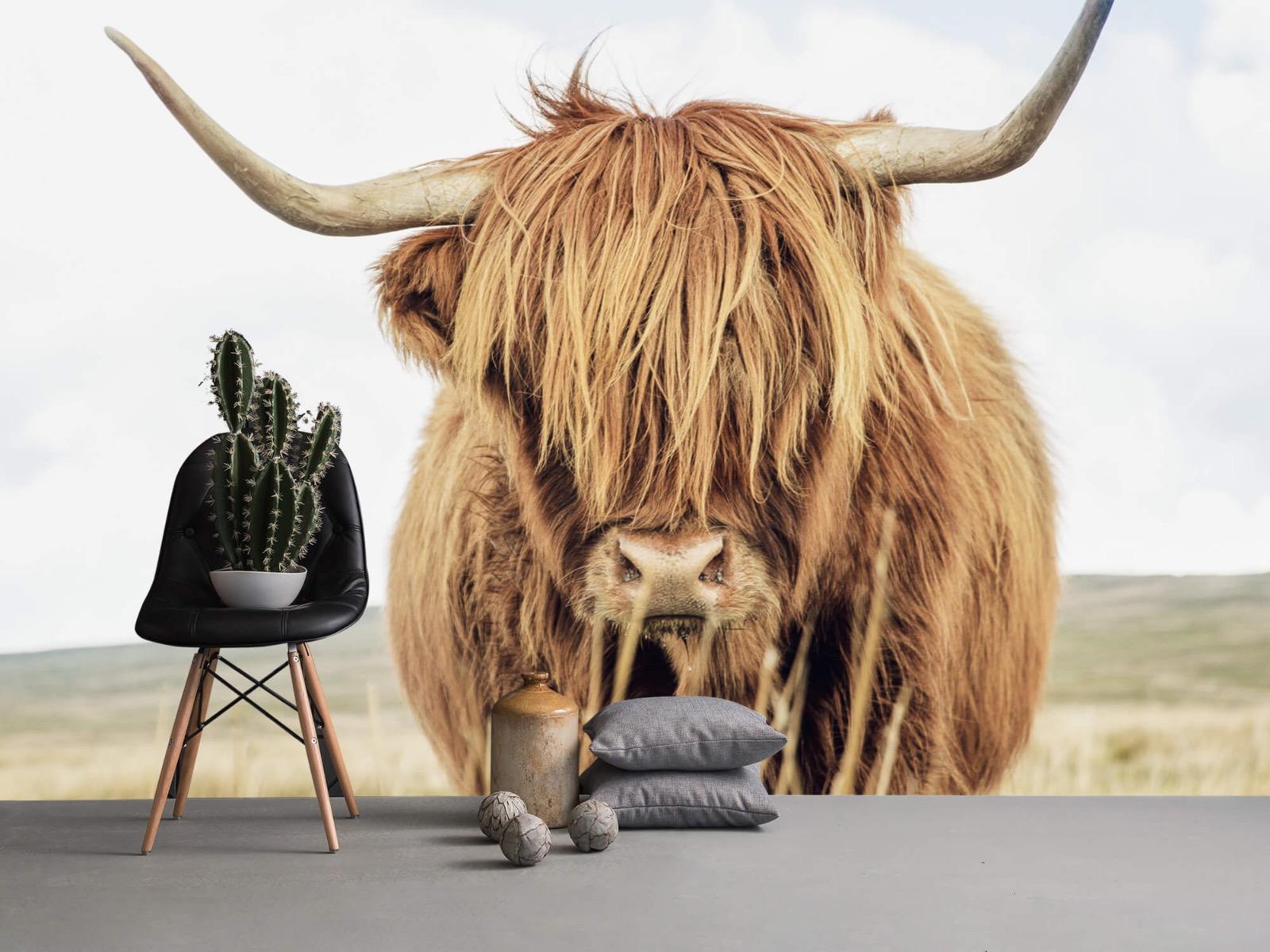 Hooglanders - Close-up van een Schotse hooglander - Keuken 13