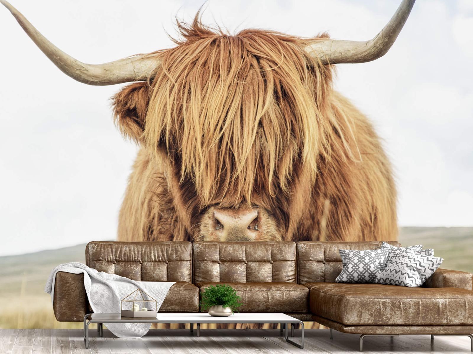Hooglanders - Close-up van een Schotse hooglander - Keuken 14