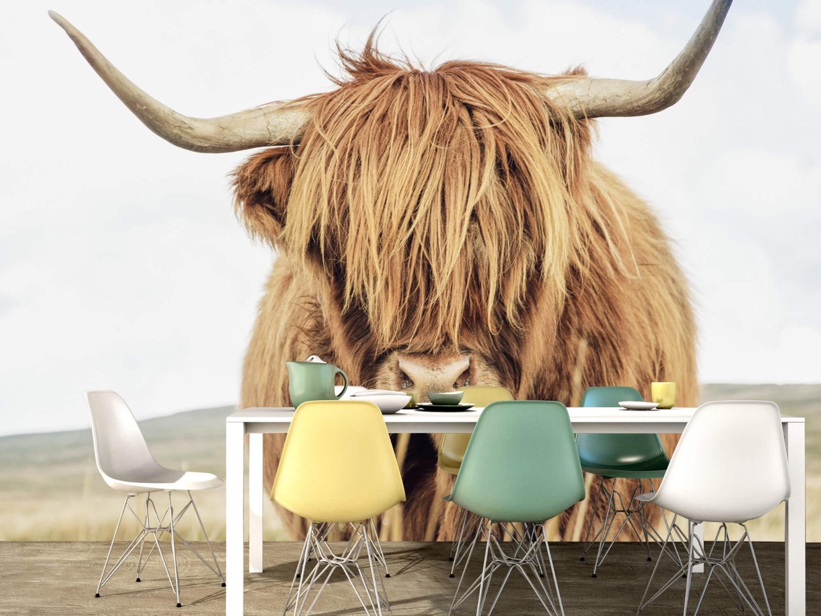 Hooglanders - Close-up van een Schotse hooglander - Keuken 15