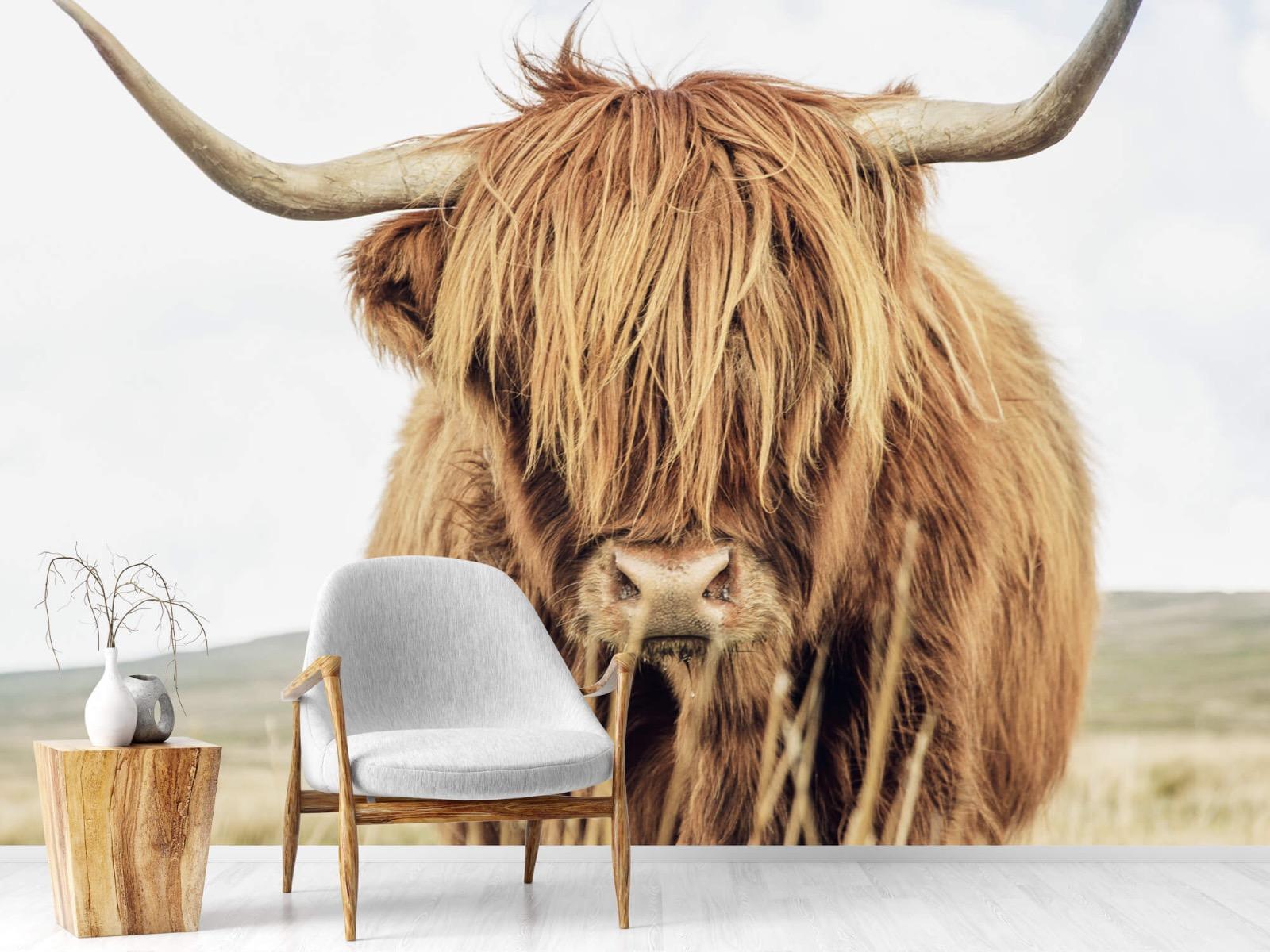 Hooglanders - Close-up van een Schotse hooglander - Keuken 18