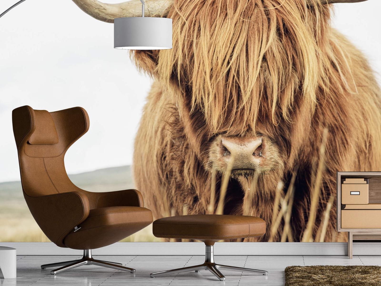 Hooglanders - Close-up van een Schotse hooglander - Keuken 19