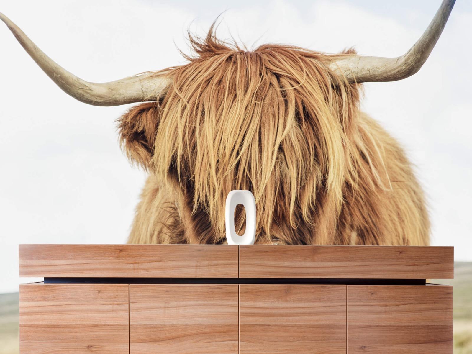 Hooglanders - Close-up van een Schotse hooglander - Keuken 20