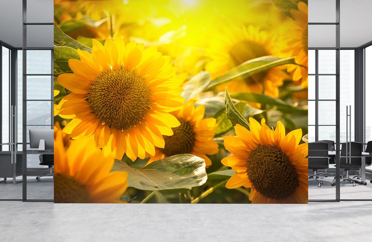 Bloemen, planten en bomen Zonnebloemen en zon 3