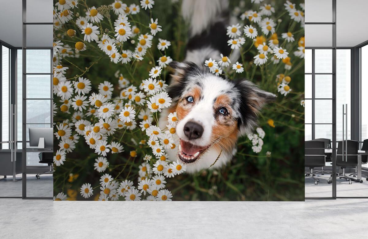 Dieren Australische herder tussen de bloemen 4