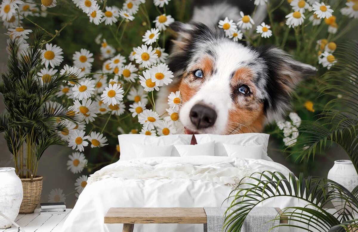 Dieren Australische herder tussen de bloemen 6