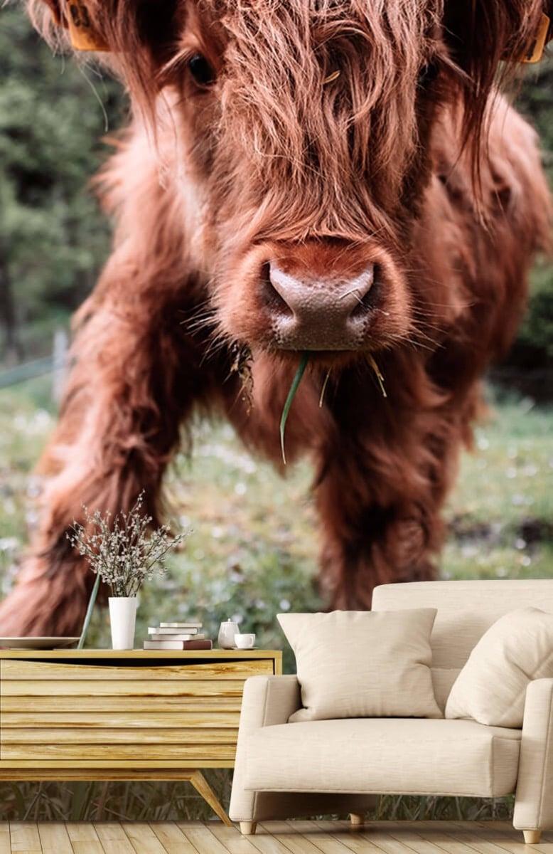 Dieren Schotse hooglander kalfje 2