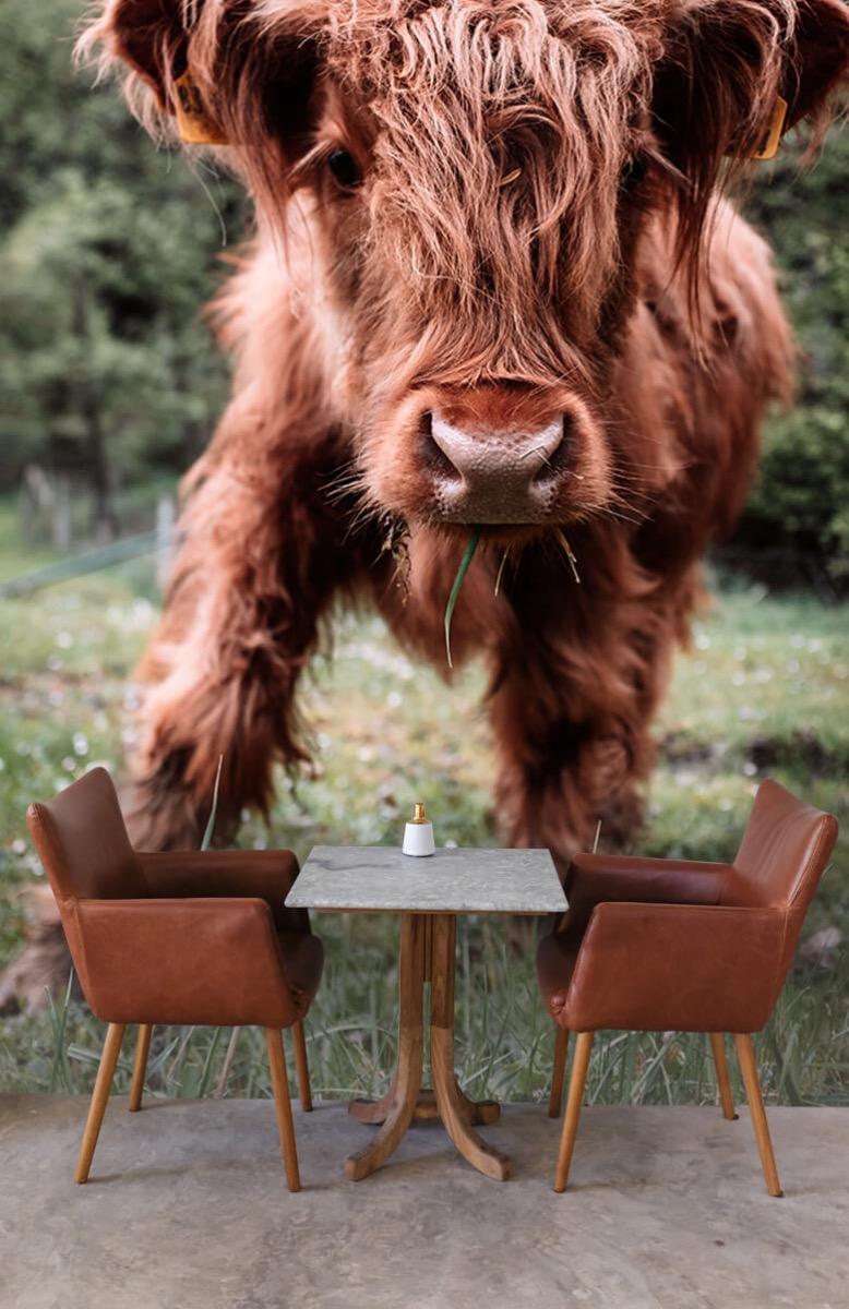 Dieren Schotse hooglander kalfje 4