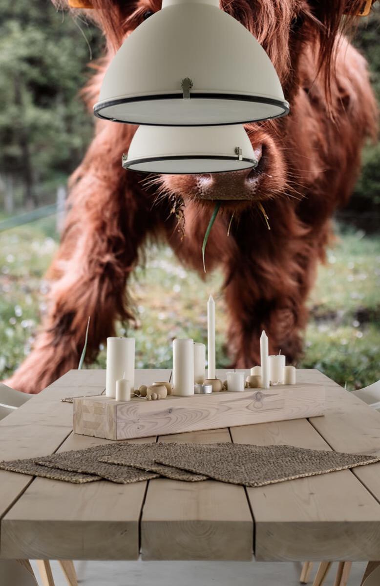 Dieren Schotse hooglander kalfje 5