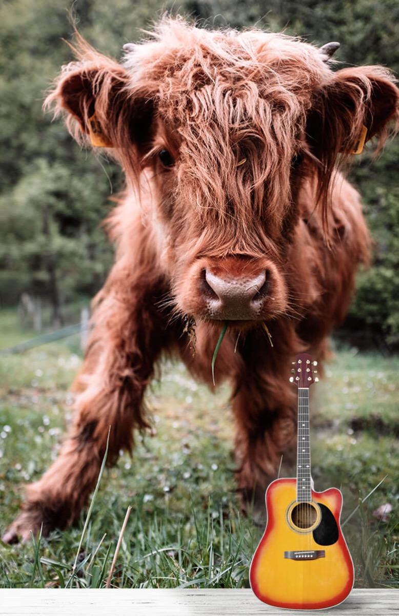 Dieren Schotse hooglander kalfje 12
