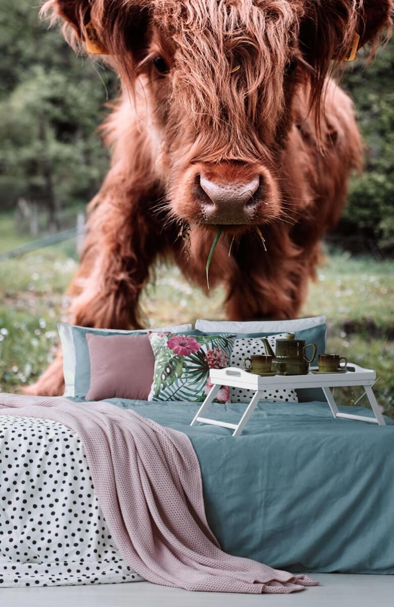 Dieren Schotse hooglander kalfje 13