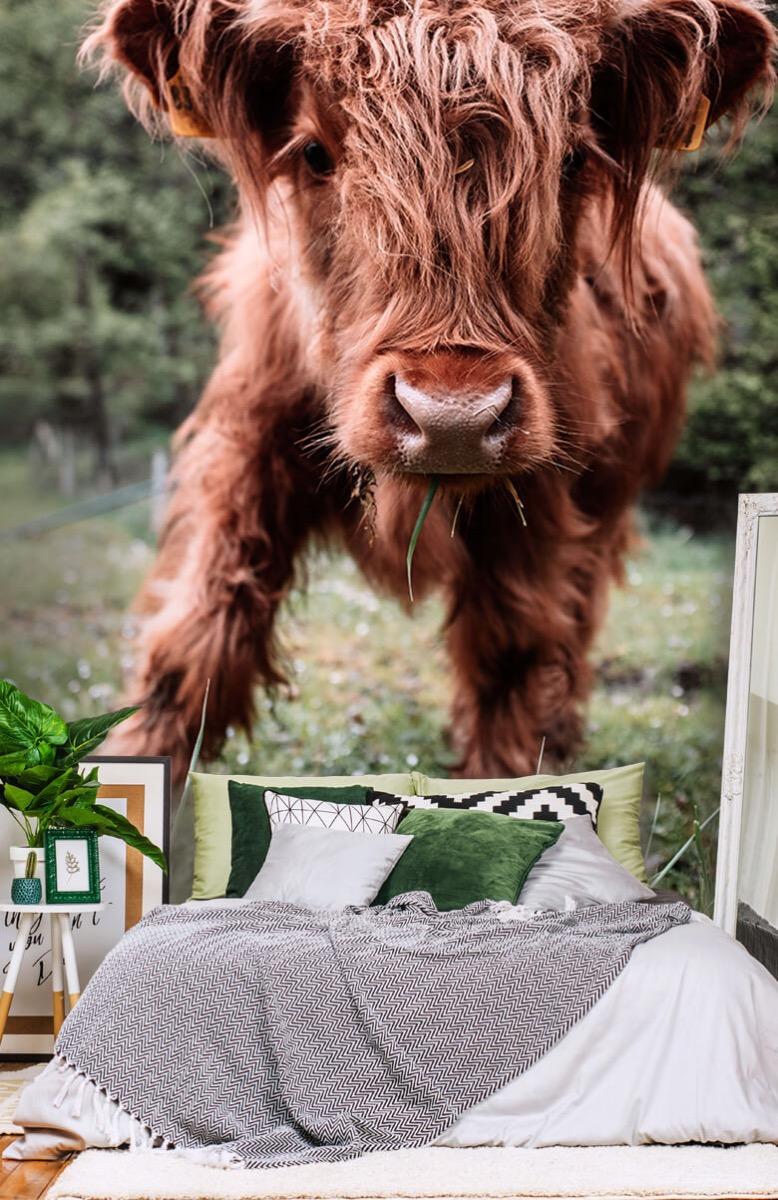 Dieren Schotse hooglander kalfje 14