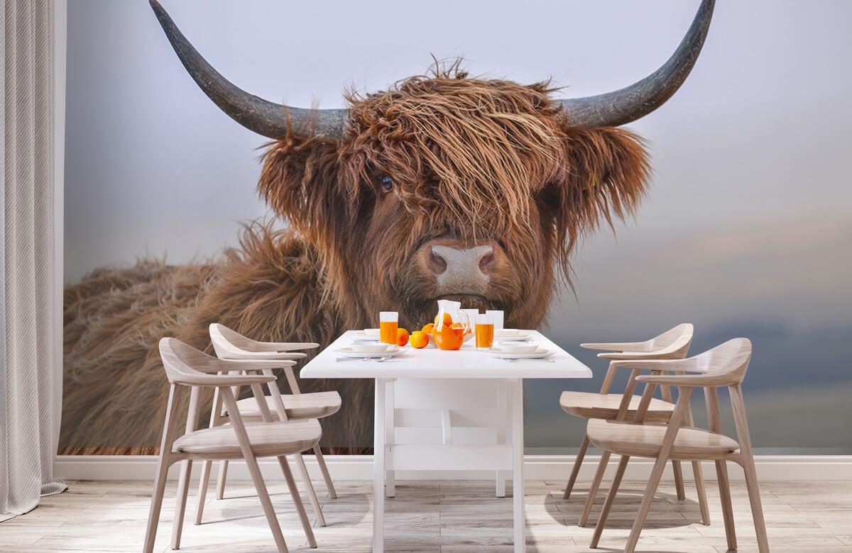 Dieren Starende Schotse hooglander 2