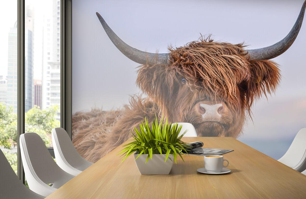 Dieren Starende Schotse hooglander 3