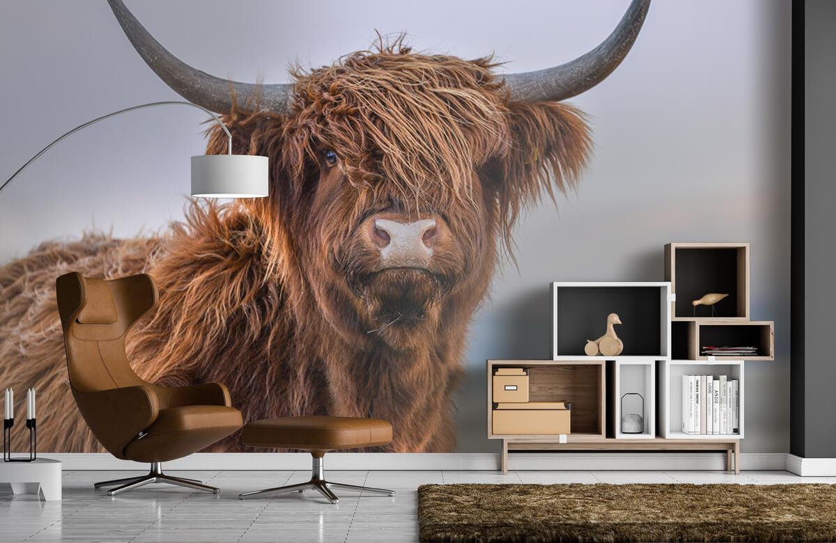 Dieren Starende Schotse hooglander 5