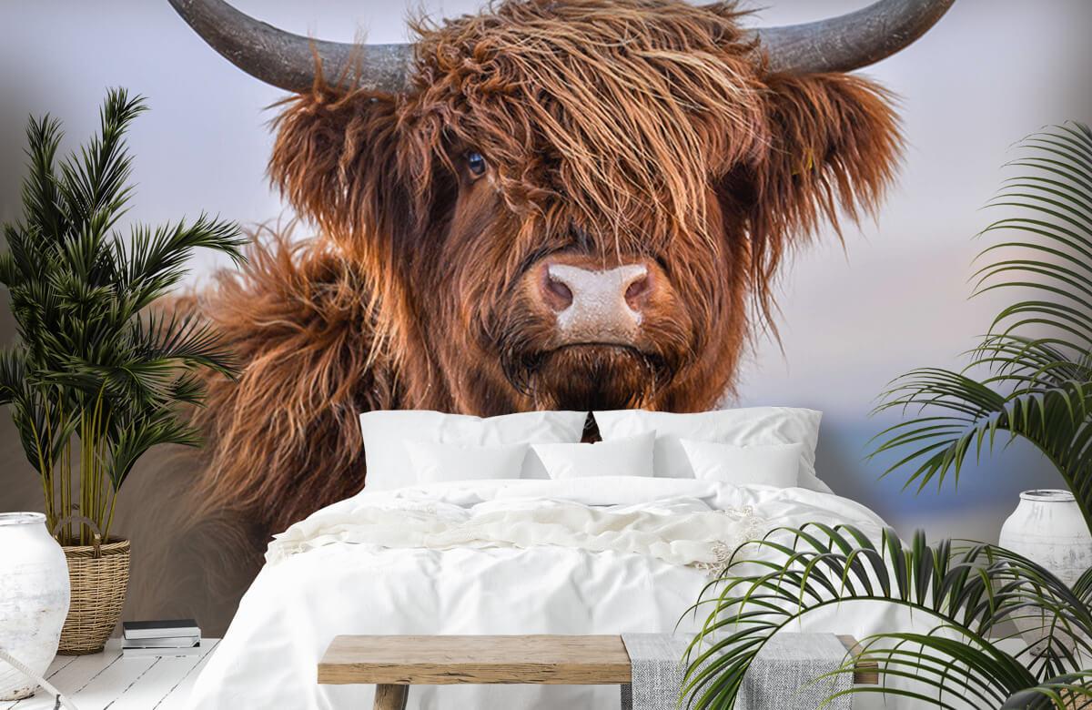 Dieren Starende Schotse hooglander 7