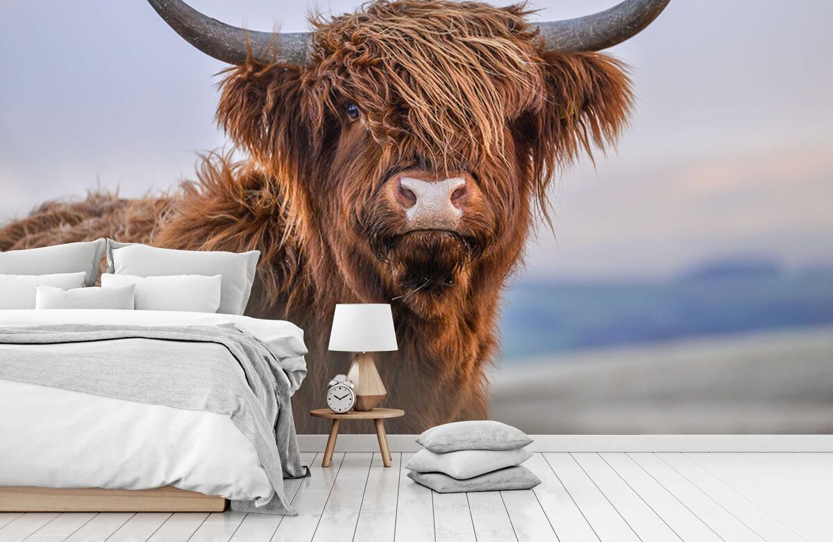 Dieren Starende Schotse hooglander 8