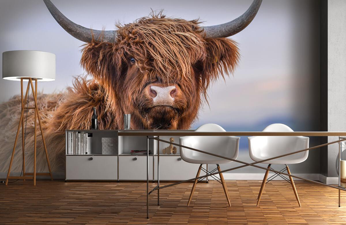 Dieren Starende Schotse hooglander 1